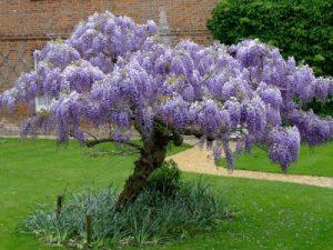 درخت پیچ گلیسیرین