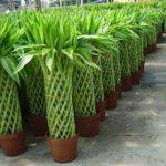 پرورش بامبو باکیفیت