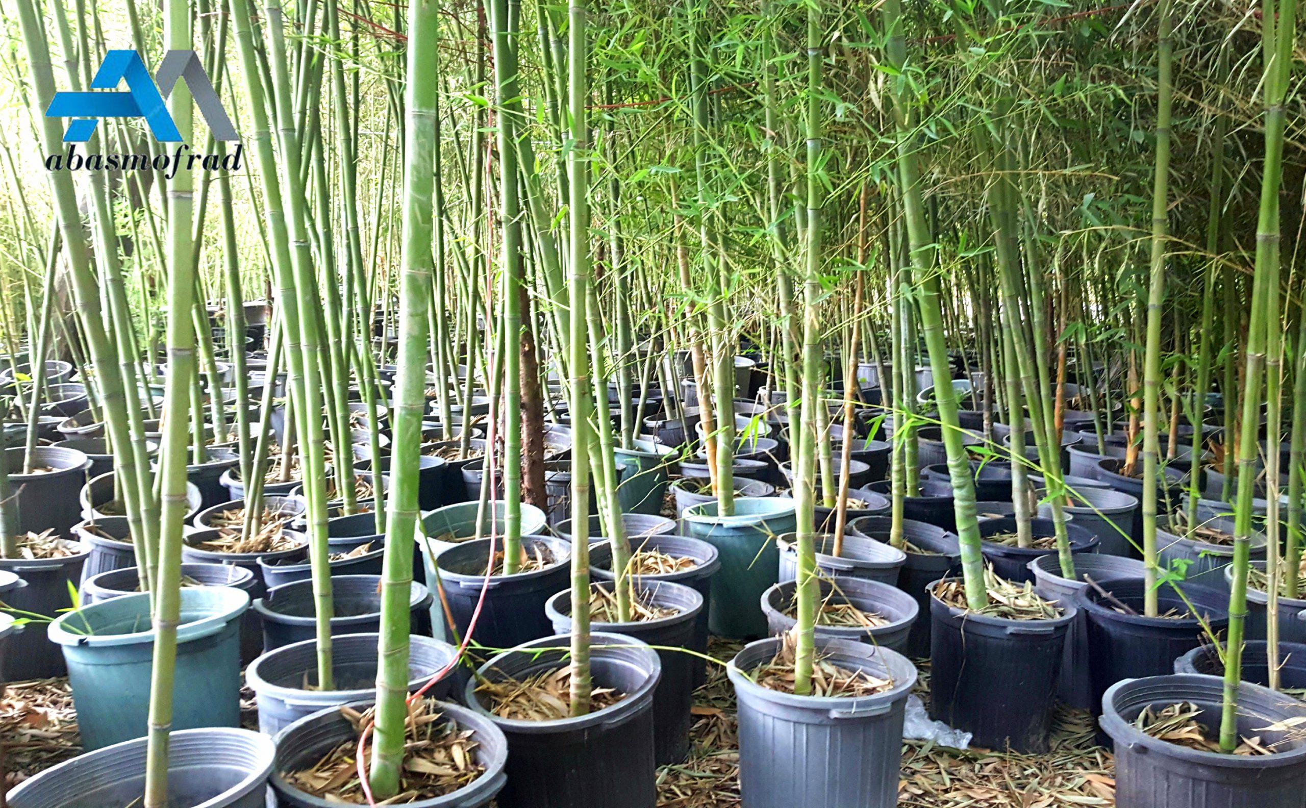 فروش نهال بامبو خیزران